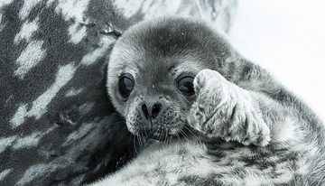 csm antarktis baby seal close up01 m 857c6da39f