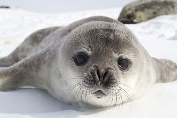 silversea-luxury-cruises-antarctica-peninsula-baby-sea-lion